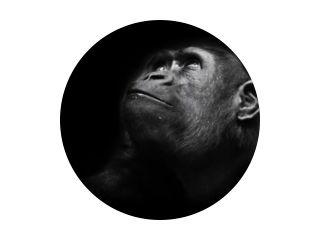 Ernstige grote aap blik. Een volwassen vrouwelijke gorilla met een serieuze uitdrukking glimlacht zijwaarts, close-up, geïsoleerde zwarte achtergrond