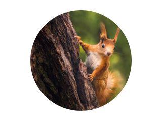 Schattige jonge rode eekhoorn in een natuurpark in warm ochtendlicht. Heel schattig dier, interessant over zijn omgeving, kleurrijk, ziet er grappig uit. Springen en in bomen klimmen, rennen, eten.