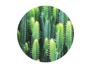 Close-upbeeld van een enorme cactuseuphorbia