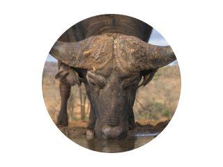 Buffalo drinken lage hoek