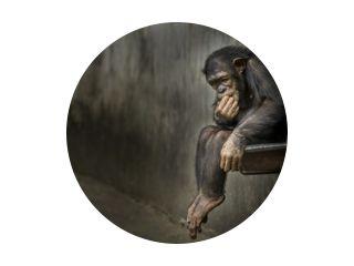 Chimpansee zittend op een metalen roestige gootsteen in een verweerde kooi, nadenkend over iets dieps