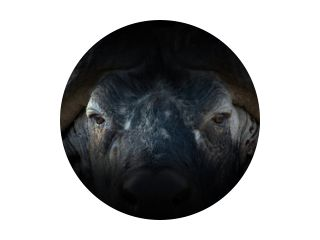 Buffelportret op een zwarte achtergrond