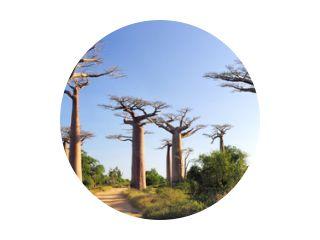 Baobabs bos