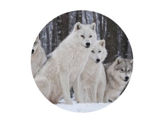 Arctic Wolf-pakket