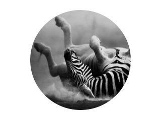 Zebra rollen in het stof