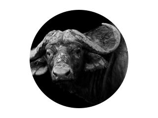 Buffel in zwart-wit