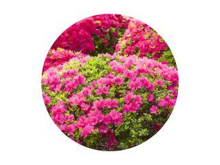 Roze en rode azalea bloemen