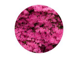 Panorama van roze azalea& 39 s in bloei