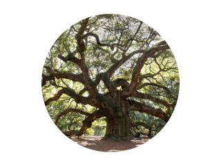 Angle Oak Tree - Majestueuze levende eiken hoekboom in Charleston South Carolina