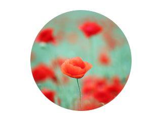 rode papaver bloem lente seizoen