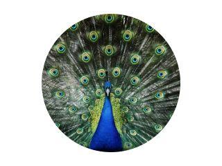 Portret van mooie pauw met veren uit