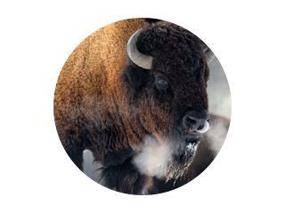 Amerikaanse bizon (Bison bizon) ademen in koude winter