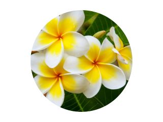 Witte en gele plumeriabloemen