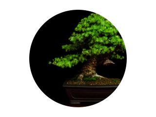 Traditionele Japanse bonsai (miniatuurboom) op een tafel met zwarte achtergrond