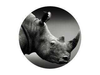 Zeer gealarmeerde neushoorn zwart-wit portret. Beeldende kunst, Zuid-Afrika. Ceratotherium simum