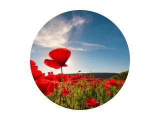 veld van rode papaver bloem met zonnestraal schot van onderen. prachtige natuur achtergrond tegen de blauwe lucht