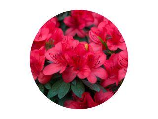 lente bloeiende weelderige verse rododendron azalea bloemen