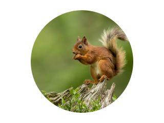 Rode eekhoorn zat op een boomstronk en eet een hazelnoot met een groene bcakground.