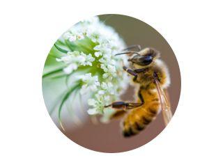 honingbij macro witte bloem