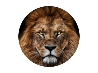 Gezicht Leeuwenkoning