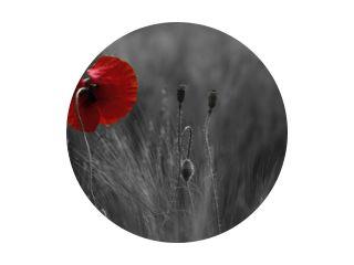 Poppy bloem of papaver rhoeas klaproos met het licht erachter in Italië herinnerend aan 1918, het Flanders Fields-gedicht van John McCrae en 1944, The Red Poppies on Monte Cassino song van Feliks Konarski