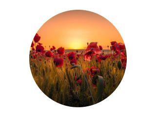 Mooie klaprozen in een tarweveld bij zonsopgang