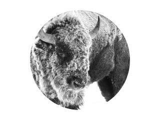 Amerikaanse bizon - Frost