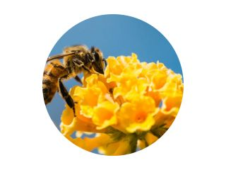 Hovey Bee op vlinderstruik