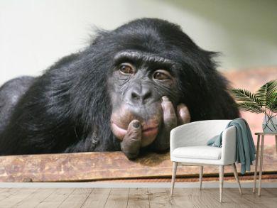 chimp chimpanzee monkey ape (Pan troglodytes or common chimpanzee) chimp looking sad and thoughtful stock photo, stock photograph, image, picture,
