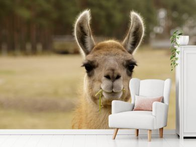Lustiges Lama / Ein Lama mit einem Grashalm im Maul