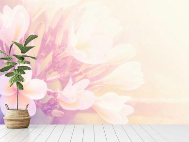 Beautiful plumeria flower as nature soft background
