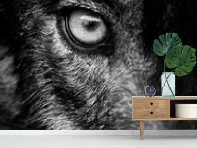 Eye of iberian wolf (Canis lupus signatus)