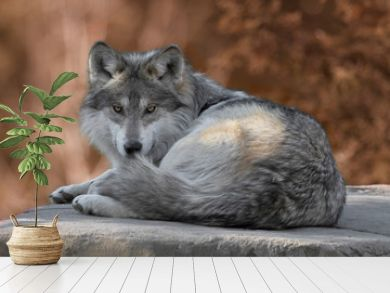 Mexican gray wolf full body portrait laying on a rock in the woods during autumn