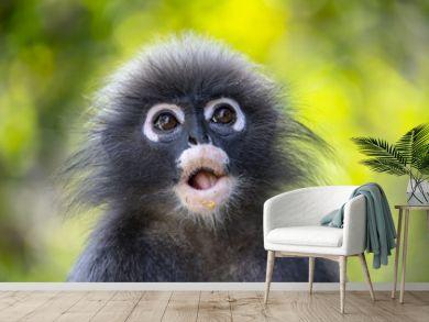 Wild Dusky leaf monkey in south of Thailand