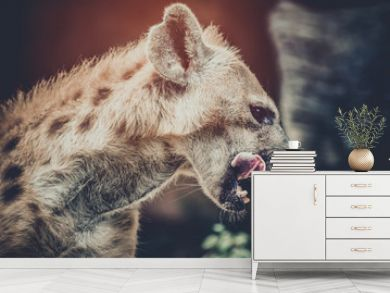 A spotted hyena licking its lips after eat