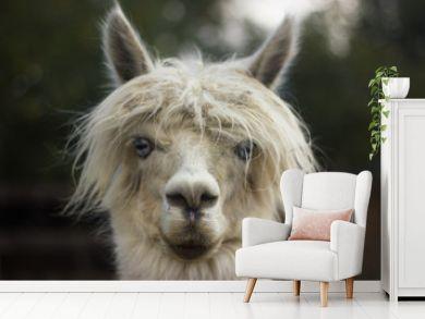 muzzle of white llama alpaca with bangs