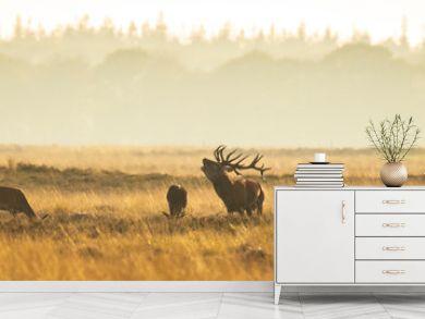 Herd of red deer cervus elaphus rutting and roaring during sunset