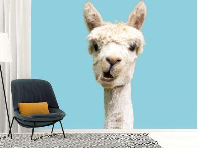 Funny white alpaca on blue background