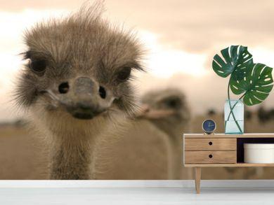 Ostrich. Close-up picture.