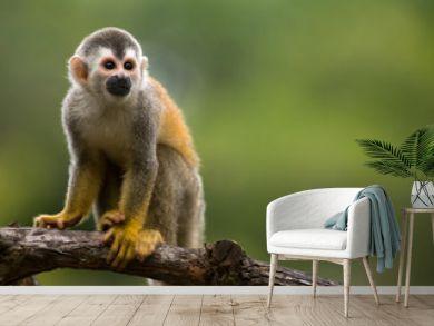 Squirrel monkey in a branch in Costa Rica