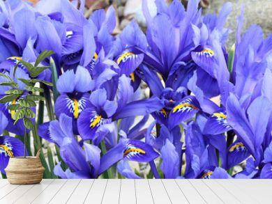 Dutch miniature blue iris (Iris reticulata)