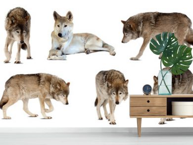 Set of few wolves  over white  with shade
