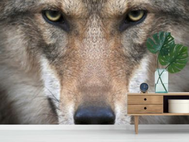 A gimlet look straight into your soul of a severe wolf female. Menacing expression of the young, two year old, european wolf, very beautiful animal and extremely dangerous beast.