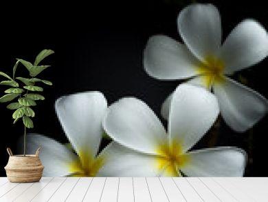 White Plumeria or frangipani in black background theme