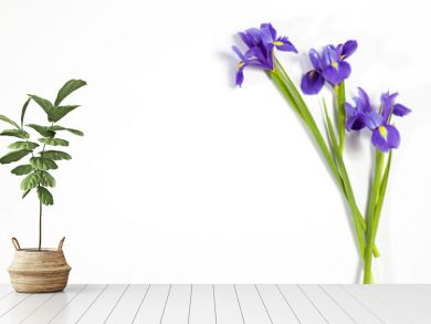 the Violet Irises xiphium (Bulbous iris, Iris sibirica) on white background with space for text. Top view, flat lay. Holiday greeting card for Valentine's Day, Woman's Day, Mother's Day, Easter!