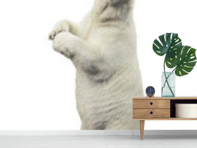 Standing polar bear. Isolated over white background