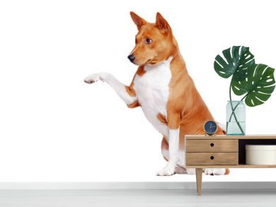 Basenji dog isolated on white sitting and giving his paw
