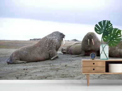 Walrus family haul-out