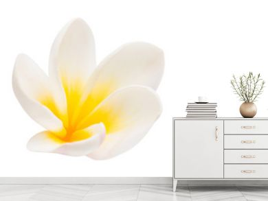 plumeria flower isolated
