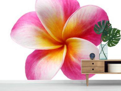 plumeria frangipani flower isolated on white background